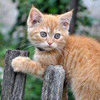 ...котёнок на заборе... :: Ольга Нарышкова