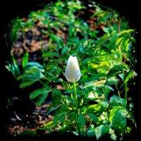 Белый тюльпан. :: Александр Стаховский