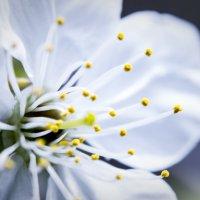 Цветок яблони :: Максим Милашевский