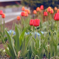 Тюльпаны :: Dasha Darsi