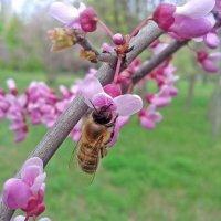 Пчелка на розовом :: Эдуард Цветков