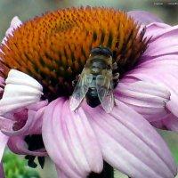 Пчелка :: Валерий Викторович РОГАНОВ-АРЫССКИЙ