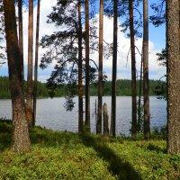 сосны  у лесного озера :: Сергей