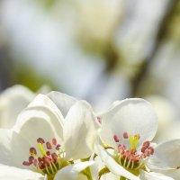 Яблоневый цвет :: юрий Амосов