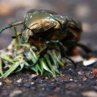 Майский жук :: Александр Зенкин
