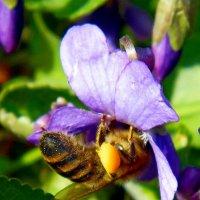 Пчелка в цветке фиалки :: Александр Бурилов