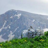 На альпийских лугах :: Нина Сигаева