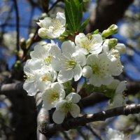 Весенний цвет :: Ирина Голубева