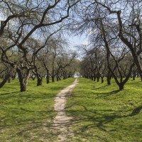 Яблоневый сад :: Андрей Шаронов
