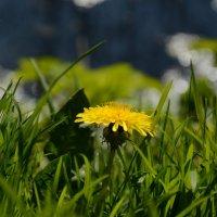 Солнечный цветок :: Инна Савинская