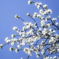 Яблони в цвету :: Юлия Маляренко