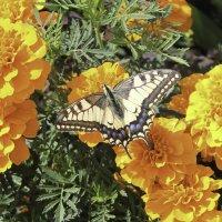 Бабочка :: Екатерина Краева
