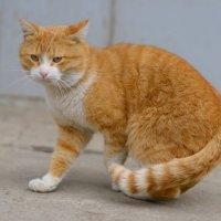 Рыжий кот :: Angelika Faustova