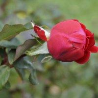 роза :: влад прошин