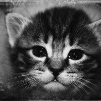 котёнок ТОМАС :: Ханпаша Джаватханов