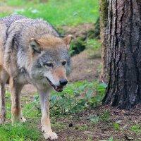 волк :: виктор омельчук