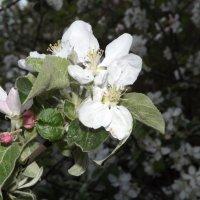 Запах яблони :: Дмитрий Степанко