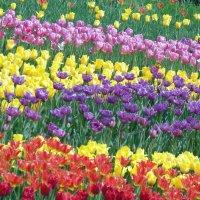 Разноцветные тюльпаны :: Ростислав