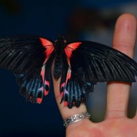 бабочка :: Катерина Забанова