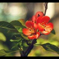 Цветы айвы. :: Елена Kазак