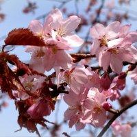 Сакура цветет :: Наталия Короткова