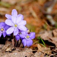 Первые цветы :: Екатерина Куликова