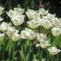 Белые тюльпаны :: Ростислав