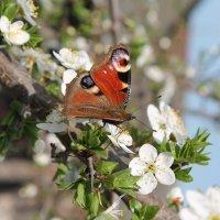 бабочка :: Анастасия Сулимова