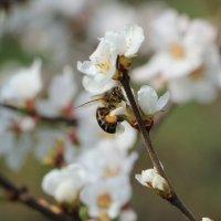 пчелка :: Ольга Седых