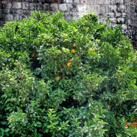 Там, где зреют апельсины... (Не Италия :)) :: Игорь Липинский