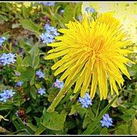 Одуванчик цветёт. :: Игорь