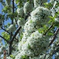 цветение вишни :: МИХАИЛ КАТАРЖИН