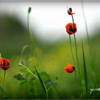 poppys01 :: yameug _