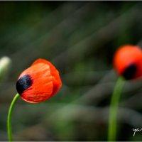 poppys 5 :: yameug _