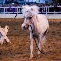 Американская миниатюрная лошадка :: Анна Гуцевич