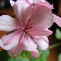 Первое цветение :: Irina