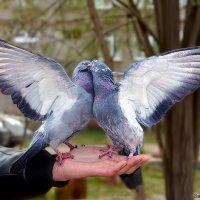 голуби :: Laryan1