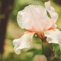 Ирис после дождя :: Наталия Прыгунова