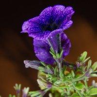 ночное цветение :: Cтанислав Сас