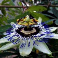 страстоцвет-пассифлора :: Ольга Рывина