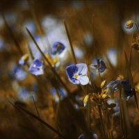 Про нежные цветы..... :: Елена Kазак