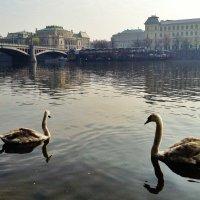 Лебеди на Влтаве :: Ирина Бирюкова
