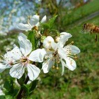 Пчёлка проснулась :: Tatjana Savelev