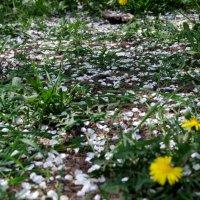 Опавшие лепестки вишни :: Анна Чигряй