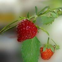 Первые ягоды :: Людмила (Руца)