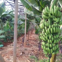 :))банановые поля :: İsmail Arda arda