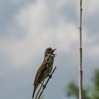 Птичье пение :: Витилий Зернов