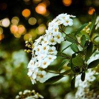Вечірній цвіт :: Stacy Stelmakh