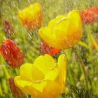 Про тюльпаны) :: Валерия заноска