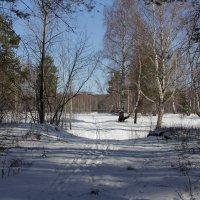 Лыжня весной. :: Андрей Дурапов